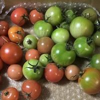 トマト    撤収時に青トマトを収穫して...