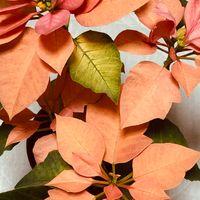 ポインセチア・ゴールド 素敵な色の苞が...