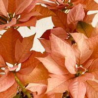 ポインセチア・ゴールド  # Euphorbia p...
