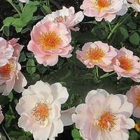 ベルストーリィ 蕾がほとんど咲きました