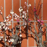 梅が大分開花しました。