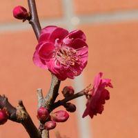 紅梅開花しました。