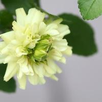 グリーンアイス  花の中から蕾が二つ