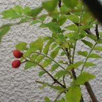 山椒の鉢植え、赤い実をつけている。た...