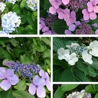 葉山の紫陽花の名所といえば、その名も...