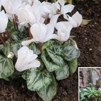 ガーデンシクラメンの白い花...側面の花...