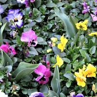 1⃣📷花壇の中ビオラの花が占領している中...