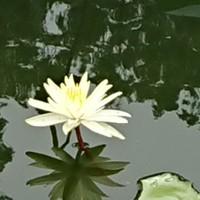 水に映る睡蓮の花 夏の終わりを告げてい...
