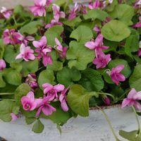 匂い菫💞 鉢がぱんぱんです❗
