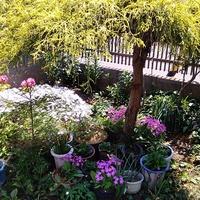 福寿草、桜草の避暑地