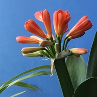 君子蘭 今年も花がたくさん