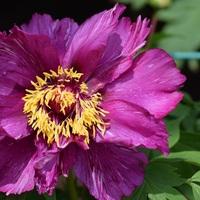 花の名前は モーニング(H.B)ライラ...