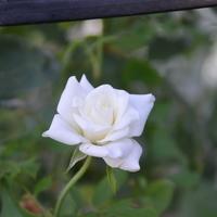 アイスバーグ  白い花がきれいです。