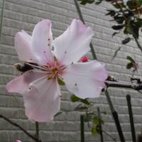 アーモンドの花が咲いてくれました。