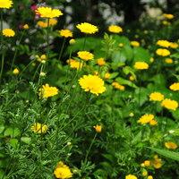ダイヤードカモミール 草木染めに黄色い...
