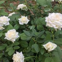 白い名無しのミニバラの二番花です。春...