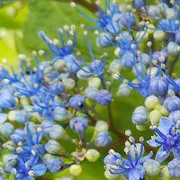 がくあじさいの真ん中 美しい花の集まり...