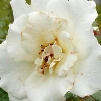 『マーガレット・メリル』9月13日撮...