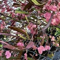 学名:Dodonaea viscosa 別名:ポップブ...