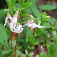 クランベリーの花 この可愛い小さな花が...