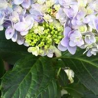 色のグラデーションを楽しみたい紫陽花 ...