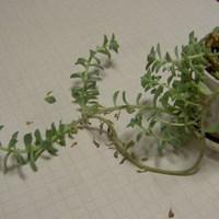 今朝の自宅の観葉植物