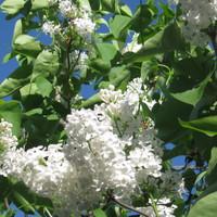 5月29日 白いライラック 清楚で香り...
