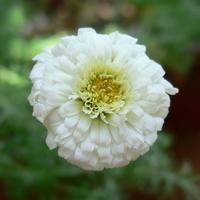 八重咲きのローマンカモミール