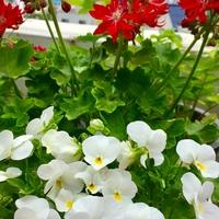 白いビオラがゼラニウムと仲良く咲いて...