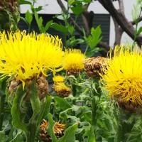 大きなタンポポのような黄色い夏の🌻花が...