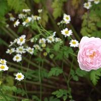 白い花はカモミール?