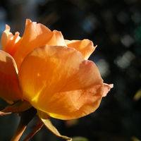 よく咲くミニバラ♪  このくっそ寒い中、...