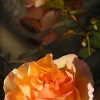 よく咲くミニバラ♪(その2)  この鉢は...