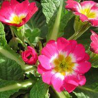中央花壇でパンジービオラと一緒に育つ...