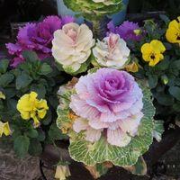 🌻葉牡丹とビオラの花...益々賑やかにな...
