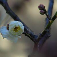 「八重の白梅」三つ目♪  また一つ咲きま...
