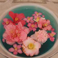 椿  水に浮かべられた椿は華やかで…。 ...