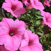 次から次へ沢山の花を付けるサフィニア…♪