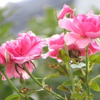 3⃣🌹下から眺めて見るツルバラの花...ア...