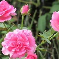 2⃣🌹2階の部屋から撮ったツルバラの花.....