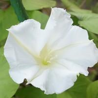 9月1日:昨夕開花したヨルガオです。猛...