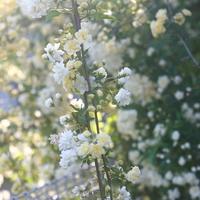 モッコウバラ:白と黄色合わせて3本植え...