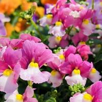 ネメシア(メロウ)♬  発色がとても綺麗...
