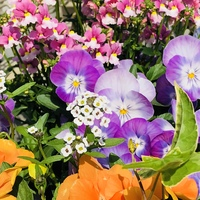 春の寄せ植え♬  ・パンジー2種 ・アリ...