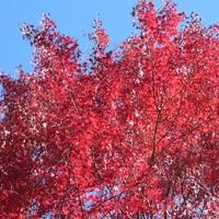 赤く染まったかえでが青い空に映えます・・