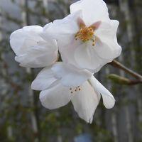 幼木のソメイヨシノが開花しました。  ...