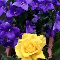 薔薇と桔梗がそれぞれの色を際立たせて...