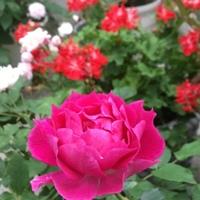 薔薇🌹とゼラニウム ピンクと赤い背景で...