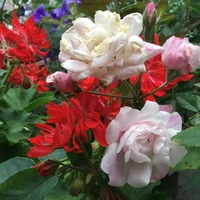 ピンクの薔薇とゼラニウム