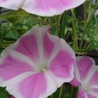 花てまり、今朝は3つ咲きました🐥 かわい...